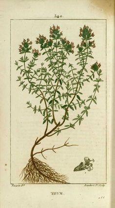 img/dessins-gravures de plantes medicinales/thym.jpg