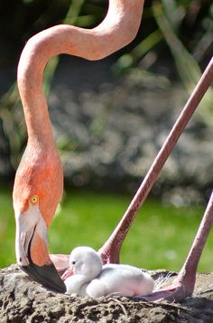"""Beak to beak""....A   flamingo dotes on her two day old chick at the San Diego Zoo.....by Stinkersmell, via Flickr"