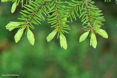Kuusenkerkkä on monipuolinen kevätherkku, joka virkistää ja voimistaa. Se soveltuu niin ruuanlaittoon kuin juomiin. Kokeile vaikka kuusenkerkkäsmoothieta! Just Eat It, Magical Forest, Fodmap, Sprouts, Smoothies, Plant Leaves, Berries, Food And Drink, Cooking Recipes