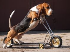 Basset Hounds kick scooter