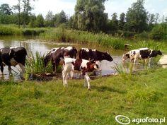 #bydło #krowa #krowy #rolnik #rolnictwo #łąka