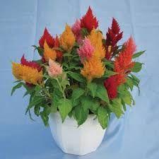celosia kimono mix - Google Search Wheelbarrow Planter, Planters, Kimono, Google Search, Plant, Window Boxes, Kimonos, Pot Holders, Flower Planters