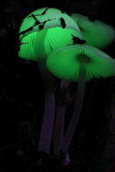 Bioluminescent mushrooms