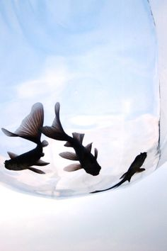Goldfish - photo by Fukuro Kingyo