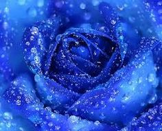 Fantastic blue rose