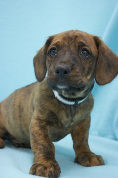 Super Fudge, an adoptable mutt in Broomfield, CO! www.muttsavers.org
