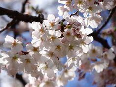 「日差しを浴びて微笑む五分咲き」  碑文谷事務所前  2012/04/04