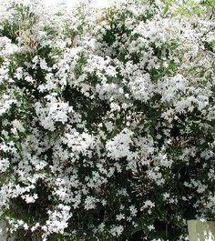 Jasminum officinale, in het nederlands gewone jasmijn of gewone witte jasmijn genaamd, is een krachtige bladverliezende klimplant een kronkelend opgaande vorm en vijf tot negentallige, geveerde bladeren, samengesteld uit kleine donkergroene, eivormige deelblaadjes. Zomerjasmijn bloeit van mei tot september met kleine, witte, stervormige geurende bloempjes, gevolgd door mini zwarte besjes. Jasminum officinale houdt van een beschutte standplaats in volle zon of lichte schaduw en een goed…