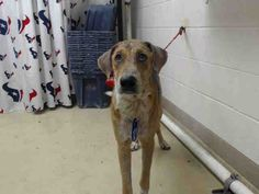 This DOG - ID#A465414 - URGENT - Harris County Animal Shelter in Houston, Texas - ADOPT OR FOSTER - 1 year old Male Am. Foxhound mix - at the shelter since Aug 05, 2016.