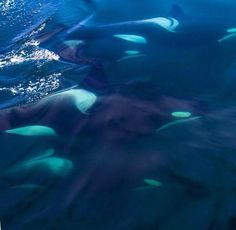 Beautiful shot of orcas swimming underwater in blue seas. Photo via orcabeauty