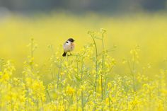 In Yellow after Rain , African stonechat by Mubi.A