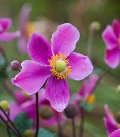 "Anemone hupehensis ""Splendens"" (Japanese anemone)"