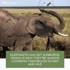 22 Elephant facts that prove they deserve better Facts that prove elephants are amazing creatures. Elephant Brain, Elephant Eating, Elephant Facts, Elephant Images, Happy Elephant, Wild Elephant, Asian Elephant, Elephant Love, Animals