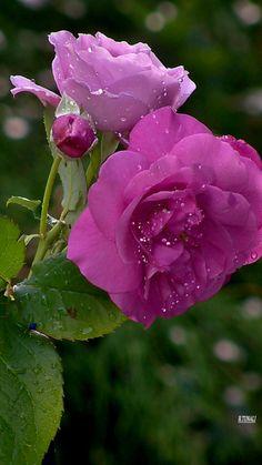 Rose ❤