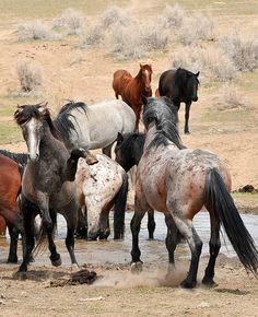 Band of mustangs at the water hole.