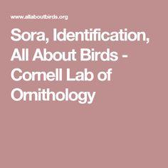 Sora, Identification, All About Birds - Cornell Lab of Ornithology