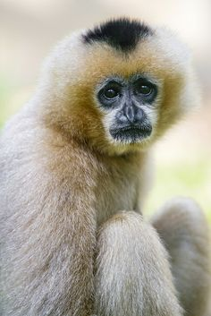 Monkey - Sitting white gibbon looking at me Primates, Mammals, Beautiful Creatures, Animals Beautiful, Cute Animals, Magnificent Beasts, Ape Monkey, Power Animal, Wild Creatures