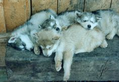 Husky Puppies!!! Super adroable