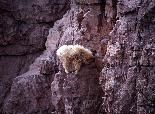 With their wooly fur and horns, mountain goats don't look like they would be the most graceful of creatures.