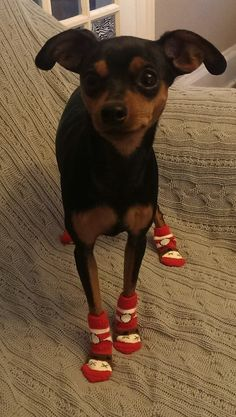 """Awesome """"Pinscher dogs"""" information is available on our internet site. Mini Pinscher, Miniature Pinscher, Doberman Pinscher, Min Pin Puppies, Min Pin Dogs, Cute Puppies, Beagle, Corgi, Pincher Dog"""