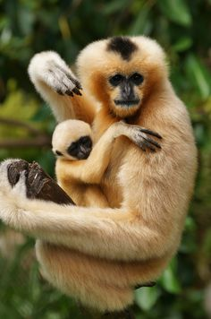 White Cheeked Gibbons are born golden in colour before gradually turning black. Females turn gold again when they reach maturity at around five years of age while males remain black.