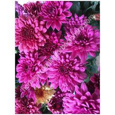 Chrysanthemum fuschia pink photo - Home Gardening for Beginners Pink Photo, Chrysanthemums, Gardening For Beginners, Different Colors, Home And Garden, Wall Decor, Wallpapers, Stock Photos, Plants