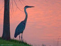 birds of the bayou - Google Search