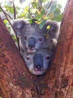 Maman Koala et bébé