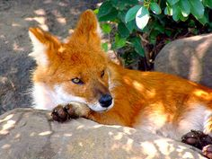 dhole animal -- yes, that's truly the breed... beautiful though... reminds me of a fox!