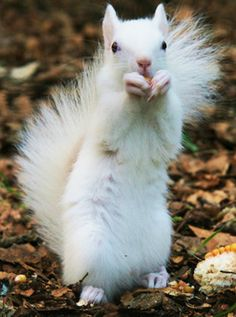 White (not albino!) squirrels. You can find them near London, Ontario.