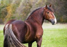 Russian Draft horse