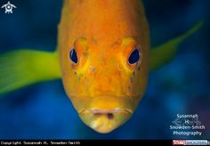 Coney - Golden Variation in Grand Cayman - Carribean