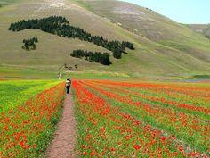 I love trekking: le fioriture primaverili di Castelluccio di Norcia.   BoBos