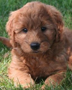 Miniature goldendoodles exist... I want one. Cutest dog ever.