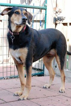 Gracie ~ Hurricane Ike rescue...still needs a loving home. TX1388.18480586 1 x Adoptable Dogs