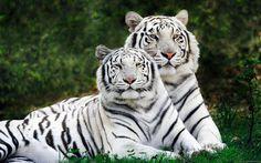 Animaux Tigre Blanc  Tigre Chat Animaux Singapour Fond d'écran
