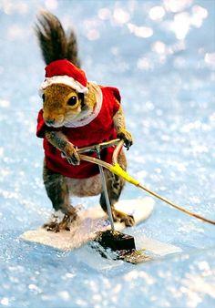 Twiggy the amazing waterskiing squirrel