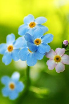 forget me not`s