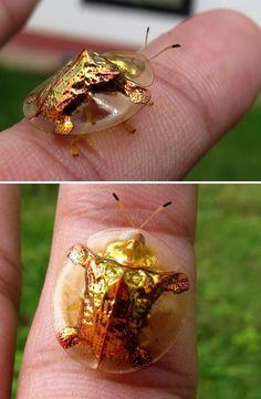 Golden Tortoise Beet