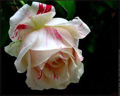 Fleur rose rose vanille fraise
