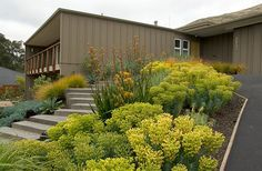 Use Euphorbia Rigida (Gopher Plants) to add volume, texture and color to your landscape. It can instantly brighten a space