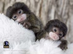 Cute little monkeys with size of a finger. Cute little monkeys with size of a finger. Source - Animals - Check out: Little Monkeys on Barnorama Tiny Monkey, Cute Monkey, Monkey Baby, Amazing Animals, Animals Beautiful, Beautiful Eyes, Cute Creatures, Beautiful Creatures, Cute Baby Animals