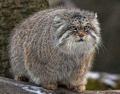 Pallas' Cats Animals   Interesting Facts