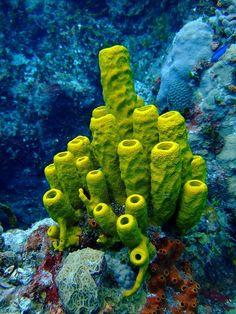 Aplysina fistularis | OMG Amazing Pics - Most Amazing Pictures on The Internet