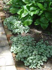 Lamium Maculatum : Elegant Groundcover for shady dry areas, especially under trees.  Shade side of pond.