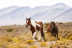 A Few Mustangs Traveling the Prairie.