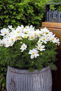 V lete oživujú priestor záhrady aj kvitnúce letničky v nádobách. Tento raz je to bielokvitnúca krasuľka.