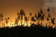 Sugar Cane Flowers - Mauritius