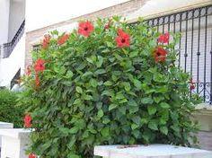 Resultado de imagen para cercas vivas para jardin con hibiscus