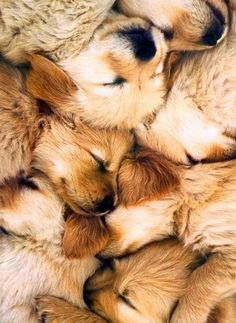 Golden Retriever Puppy Pile - Why am i not in this pile of pups. Cute Puppies, Cute Dogs, Dogs And Puppies, Doggies, Baby Dogs, Animals And Pets, Baby Animals, Cute Animals, Perros Golden Retriever